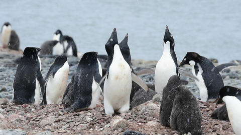 Adelie Penguin with chicks Archivo