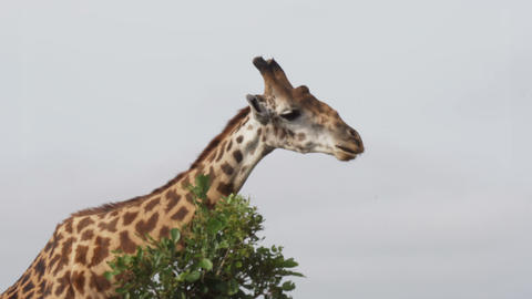 Funny Giraffe chews leaves and turns its head toward the camera. 4k video Footage