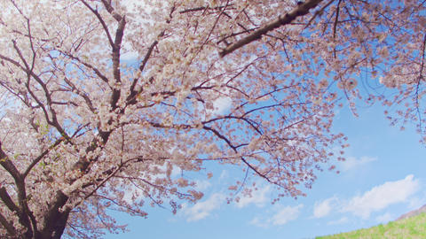Cherry blossoms and blue sky Image