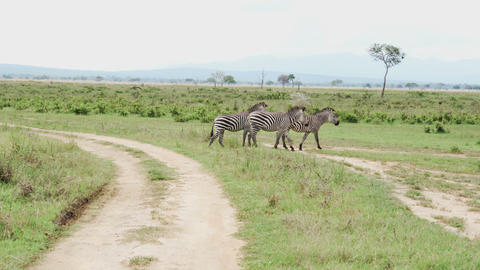 Three zebras walk along the road among the green grass of savanna Live Action