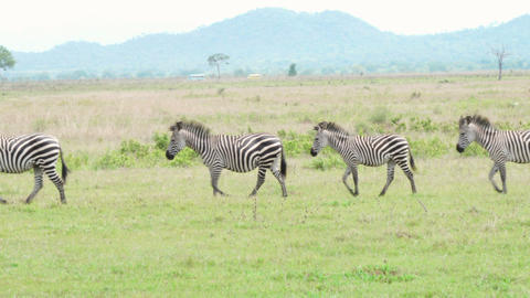 Funny group of zebras pass from right to left, last one stops and looks at us Footage