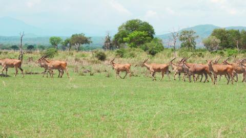 A herd of african antelopes walks the African savannah Footage