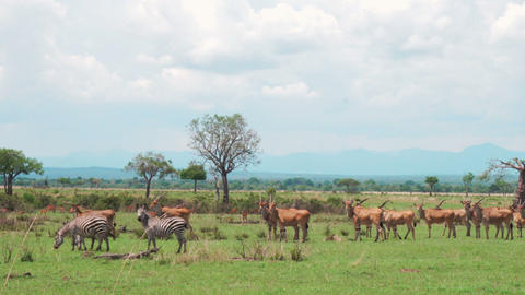 A herd of african antelopes and zebras walks the African savannah Footage