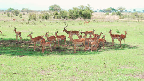 Herd of Impala antelopes hiding from the sun in the shadow of a tree Footage