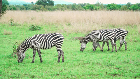 Small group of zebras eating green grass in savannah Footage