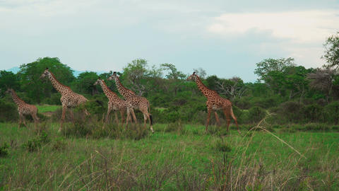 A small herd of giraffes walk through the African savannah and feed Footage