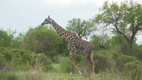 Old graceful giraffe moves behind the bushes in the savanna Footage