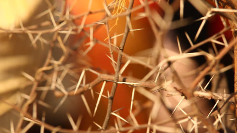 Macro succulent thorns, Live Action