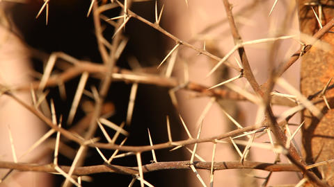 Macro succulent thorns Footage