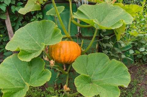 Orange pumpkin among the green leaves and lashes grows in the garden near the Fotografía