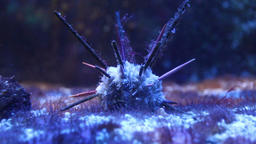Long-spine slate pen sea urchin underwater Footage