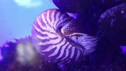 Nautilus, pelagic marine mollusc underwater Footage