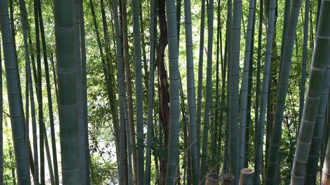 bamboo shoot or bamboo sprout and bamboo forest Footage