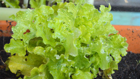 Sraying Water Over Green Planted Lettuce Live Action