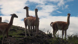 Guanaco exotic mammal wild animal in Andes mountains of Patagonia Footage