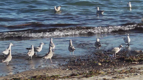 Seagulls looking for food on the beach Live Action