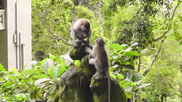 Two little monkeys are playing, Ubud, Bali Footage