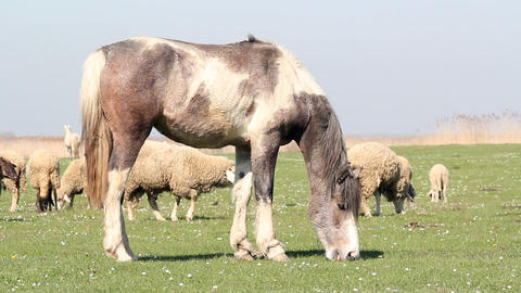 Horse and sheep grazing farm scene Footage