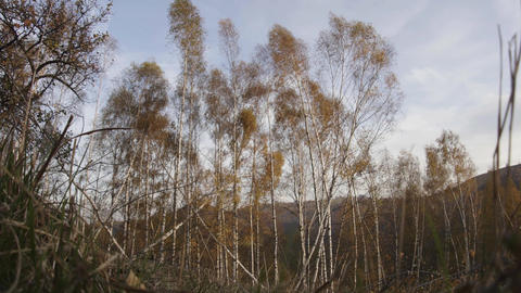 Birch forest autumn wind blows strongly and move tall trees The leaves move in Live Action