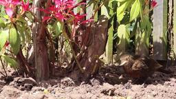 Black bird songbird female bird Footage