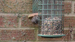 Garden birds dunnock garden Footage