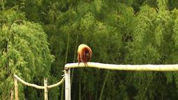 Howler monkey fauna Footage
