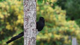 Magpie bird black and white feeding Footage