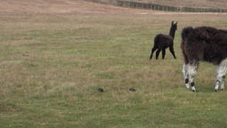 Black Alpaca exotic mammal wild animal in Andes mountains of Patagonia Footage