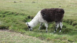 Alpaca exotic mammal wild animal in Andes mountains of Patagonia Footage