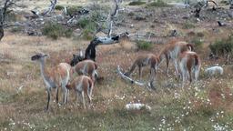 Young one Guanaco lama exotic mammal wild animal sucks milk in Patagonia Footage