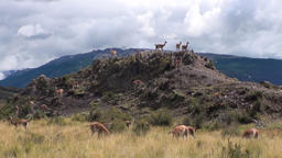 Guanaco lama exotic mammal wild animal in Andes mountains of Patagonia Footage