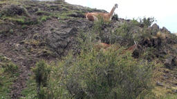Guanaco lama exotic mammal wild animal in Andes mountains... Stock Video Footage