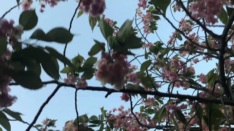 桜04 ビデオ