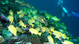 School of striped yellow fish on background clear seabed underwater in Maldives Footage