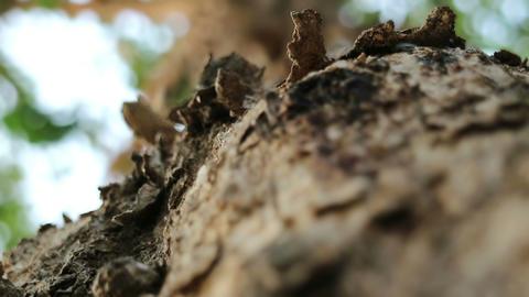 Rough Burma padauk tree bark surface and running ants Image