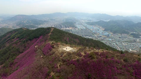 Cheonjusan Mountain Jindallae Azalea Flower Blooming 29 Footage