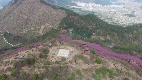 Cheonjusan Mountain Jindallae Azalea Flower Blooming 31 Footage