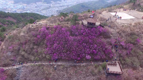 Cheonjusan Mountain Jindallae Azalea Flower Blooming 32 Footage