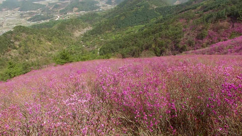 Cheonjusan Mountain Jindallae Azalea Flower Blooming 34 Footage