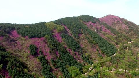 Cheonjusan Mountain Jindallae Azalea Flower Blooming 01 Footage
