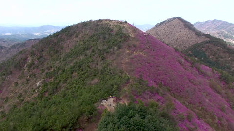 Cheonjusan Mountain Jindallae Azalea Flower Blooming 06 Footage