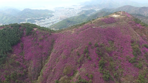 Cheonjusan Mountain Jindallae Azalea Flower Blooming 08 Footage