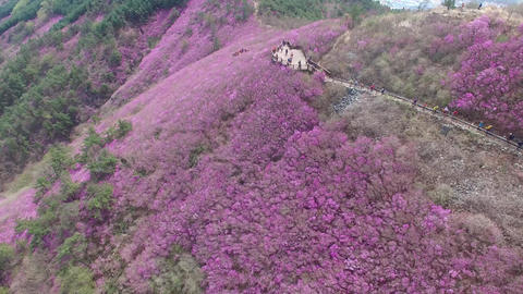 Cheonjusan Mountain Jindallae Azalea Flower Blooming 10 Footage
