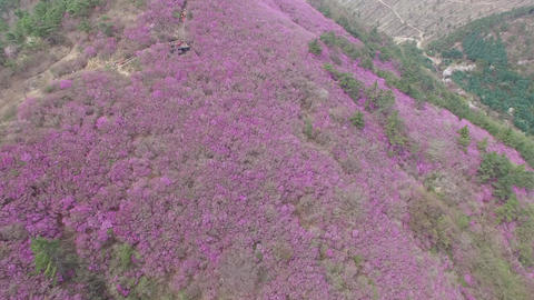 Cheonjusan Mountain Jindallae Azalea Flower Blooming 12 Footage