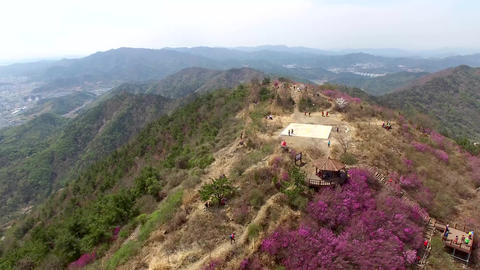 Cheonjusan Mountain Jindallae Azalea Flower Blooming 16 Footage