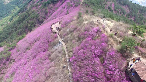 Cheonjusan Mountain Jindallae Azalea Flower Blooming 18 Footage