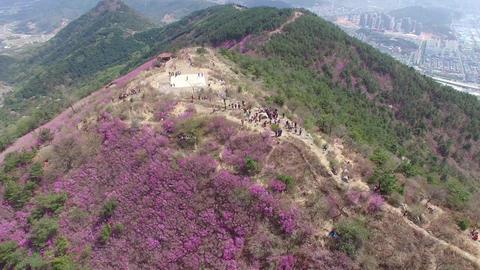 Cheonjusan Mountain Jindallae Azalea Flower Blooming 20 Footage
