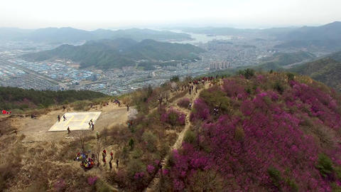 Cheonjusan Mountain Jindallae Azalea Flower Blooming 22 Footage