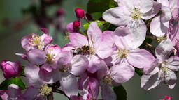 Honey bee by apple tree flowers Footage
