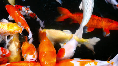 Koi Carps Fish swimming beautiful color variations Archivo